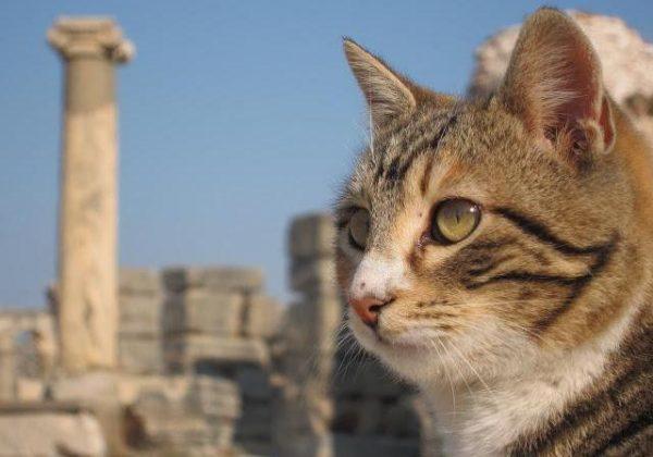 Дикая анатолийская кошка