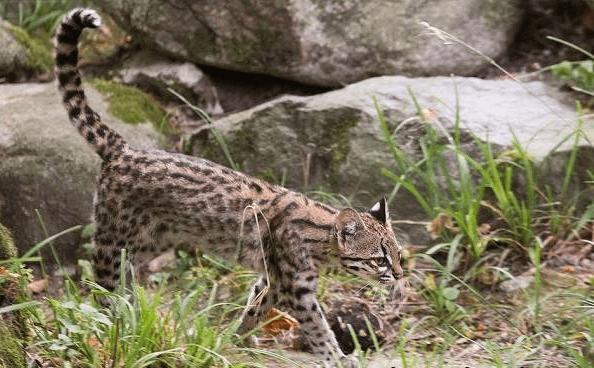 Дикая тигровая кошка онцилла