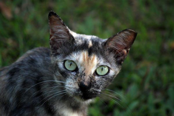Дикий сингапурский кот