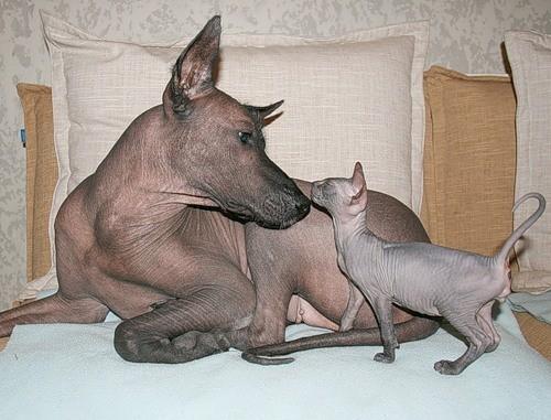 Донской сфинкс и собака