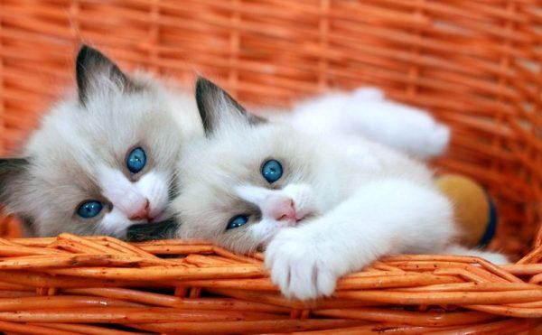 Два котёнка рэгдолла из одного помёта