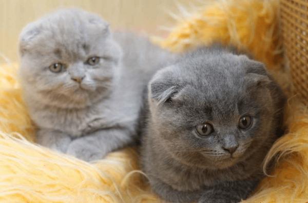 Два котёнка породы скоттиш-фолд