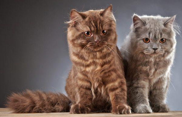 Два ухоженных котёнка породы лаперм на сером фоне