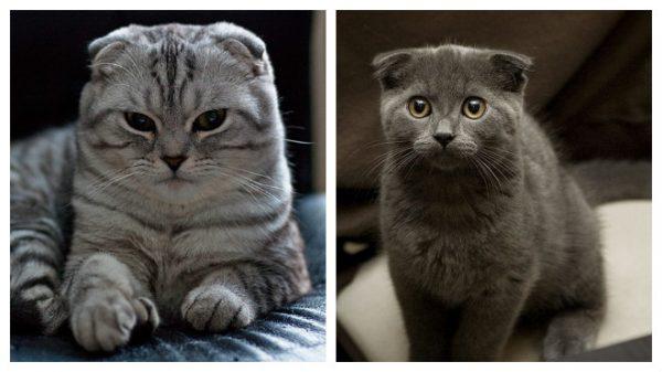 Две шотландские вислоухие кошки разного окраса