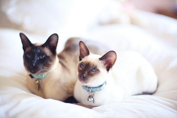 Две сиамские кошки на белом одеяле