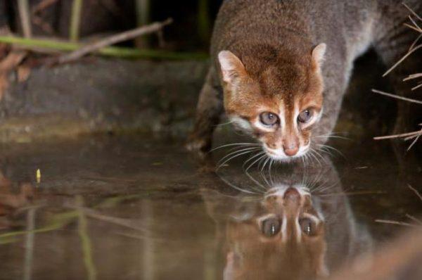 суматранская кошка нюхает воду