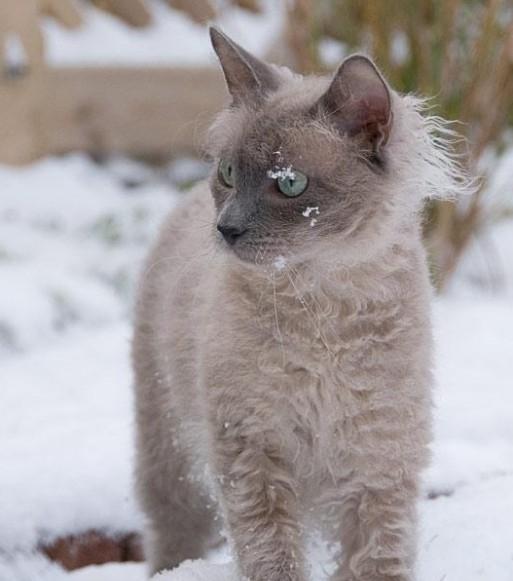 Лиловая кошка породы лаперм с окрасом колор-пойнт