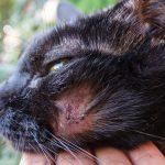 проплешина на щеке у кота