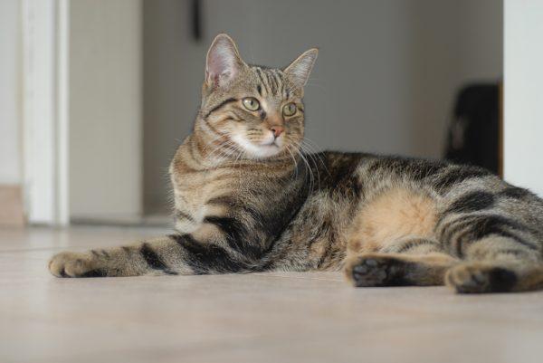 Европейская короткошёрстная кошка лежит на полу