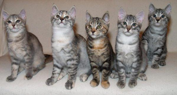 Котята из питомника породы европейская короткошёрстная