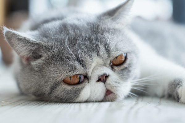 Серый экзотический короткошёрстный кот лежит