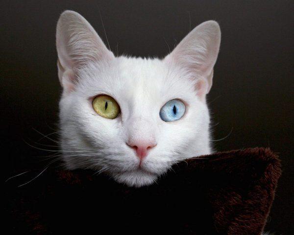 Голова кошки као мани на подушке