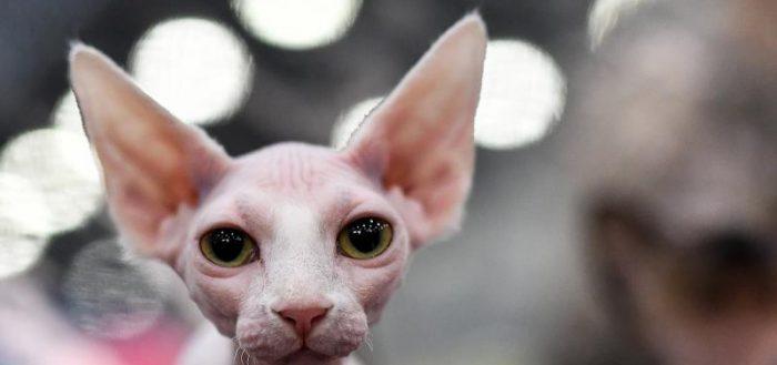 голова кошки породы минскин