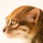 голова суматранской кошки в профиль