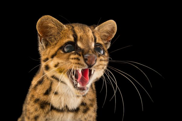 Малая тигровая кошка рычит