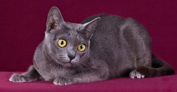 Молодая кошка породы корат на бордовом фоне