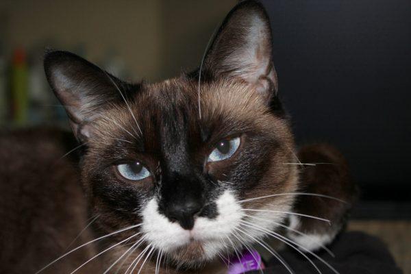 Кот породы сноу шу с чёрным носом крупным планом