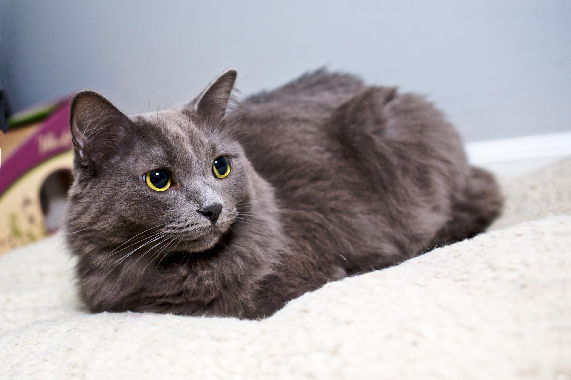 вечером русская голубая длинношерстная кошка фото отметил, что