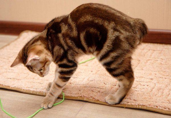 Игривый и любопытный котёнок курильского бобтейла