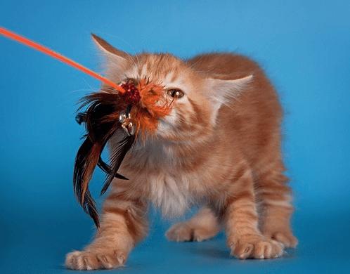 Игривый котёнок курильского бобтейла