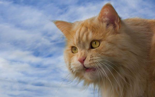 Морда рыжего желтоглазого кимрика на фоне облачного неба