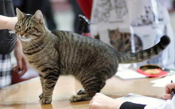 Кельтская кошка на выставке