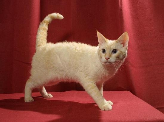 Короткошёрстная кошка породы лаперм кремового окраса