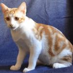 Короткошёрстный турецкий котик