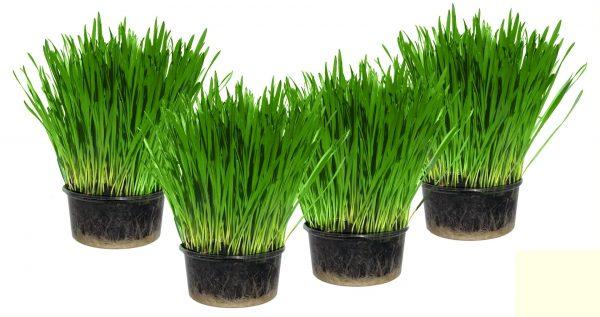 Кошачья трава в горшочках