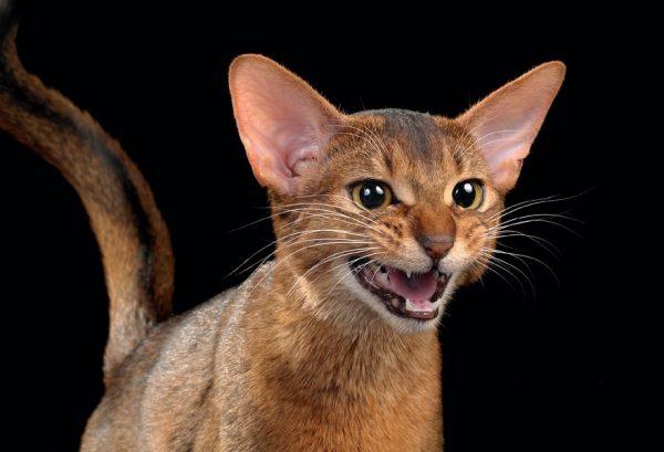 Абиссинская кошка шипит