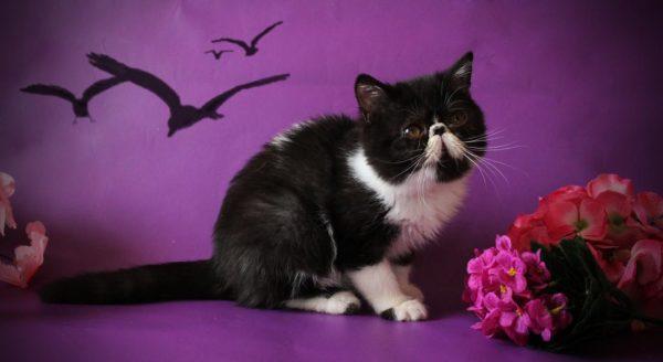 Чёрно-белая экзотическая кошка
