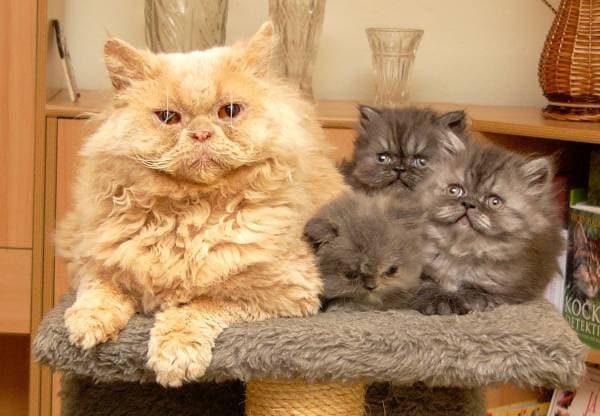 Кошка и котята породы богемский рекс