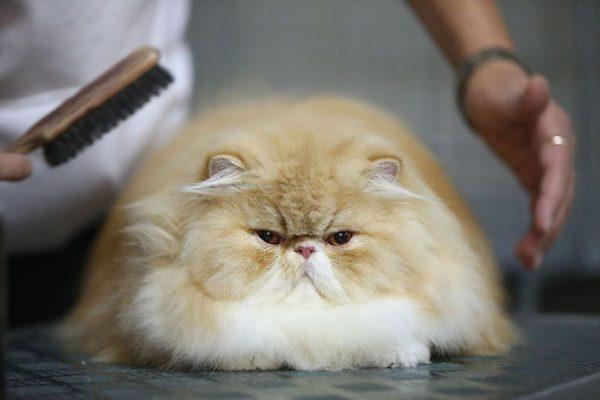 Кошка и расчёска