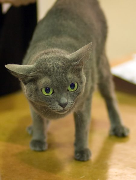 Кошка корат в настороженной позе