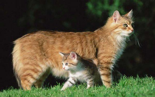 Кошка мэнкс с котёнком