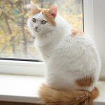 кошка окраса «Ван»