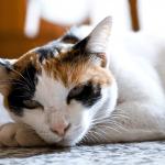 Кошка окраса «калико»