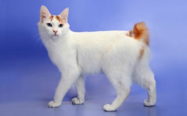 Кошка породы «японский бобтейл»