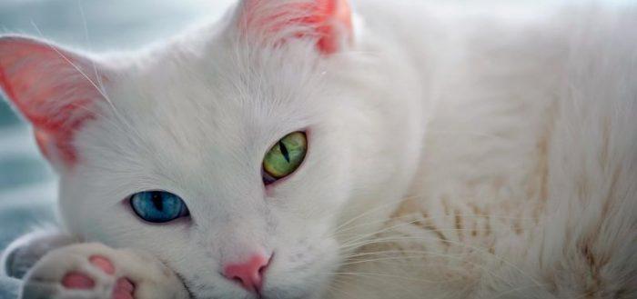 Кошка породы као мани с разноцветными глазами