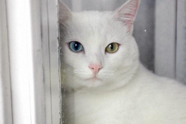 Кошка с разноцветными глазами смотрит в окно