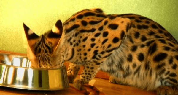 Кошка саванна ест