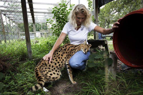 Кошка саванна и девушка