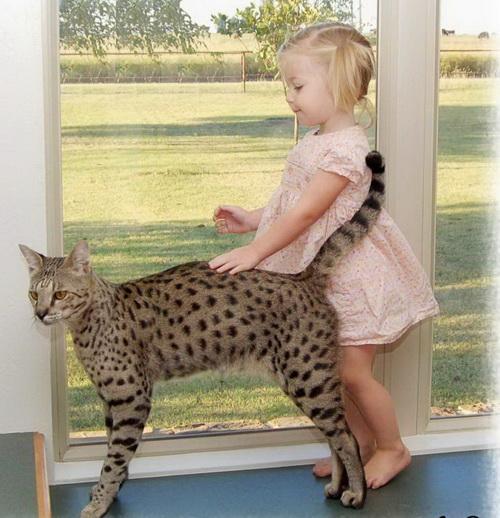 Кошка саванна с девочкой