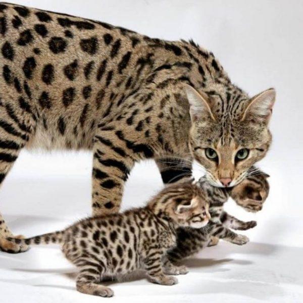 Кошка саванна с котятами