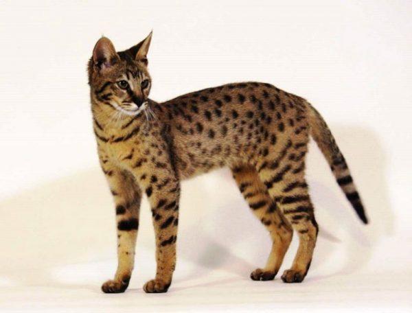 Кошка саванна стоит