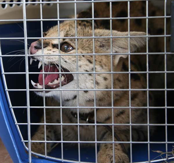 Кошка саванна в клетке