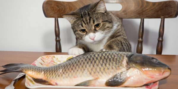 кошка сидит на стуле и смотрит на рыбу
