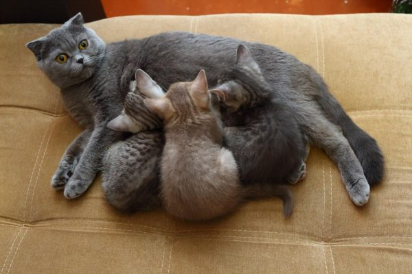 Кошка скоттиш-страйт с котятами