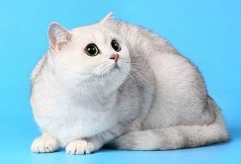 кошка затушёванного окраса