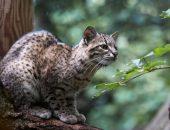 Кошка Жоффруа на дереве